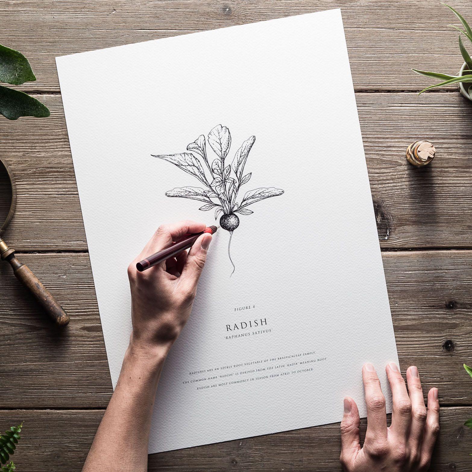 Radish | Being Drawn